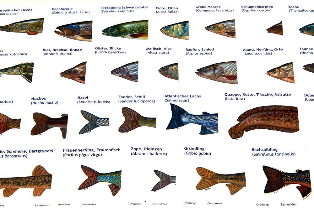 Fisch Lernkarten Angelschein Fischereischein Dresden Sachsen